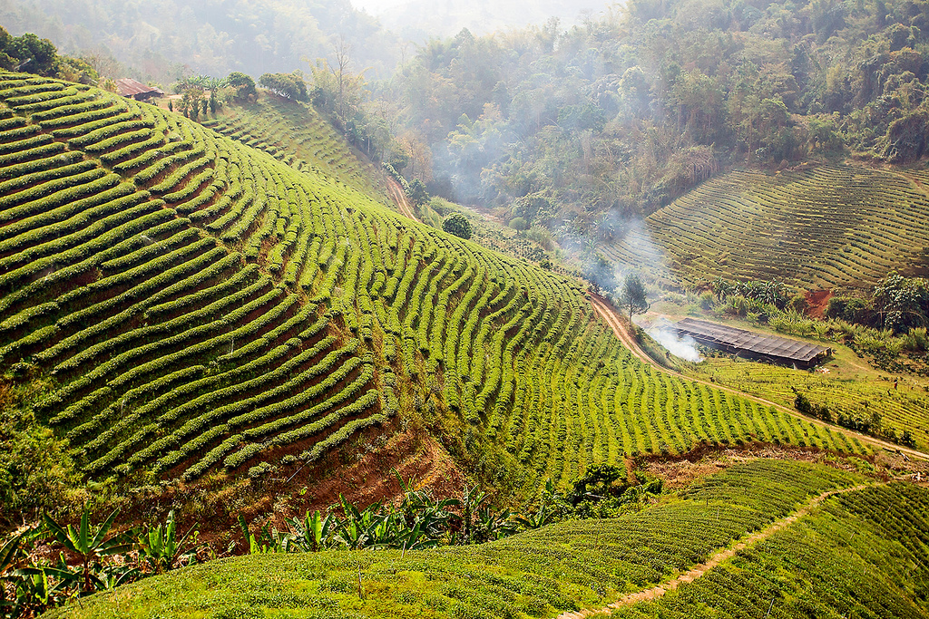 tea_plantation_Mae_Salong